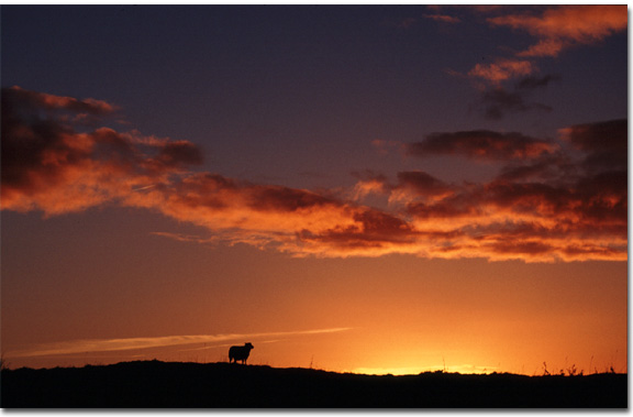 End of an Era ? Sheep silhouetted against western skyline in East Galway